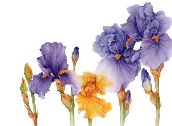 Ilustraciones de flores Jan Harbon 2
