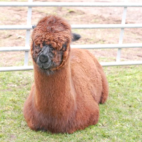 brown alpaca