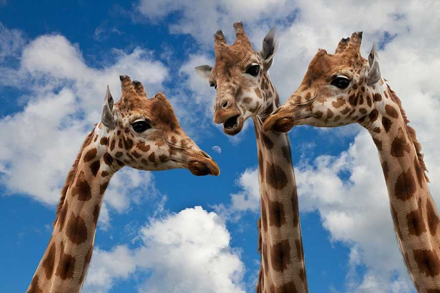 três girafas juntas, Sponchia : Como ajudar um artista