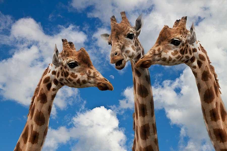 giraffes-Sponchia
