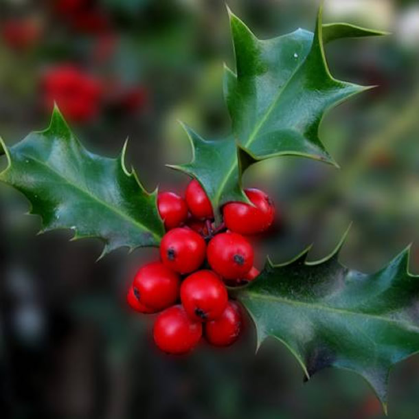 simbolos-natalinos-azevinho1