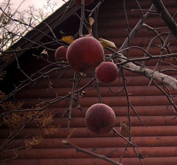 Day 68 – Forgotten apples – Nisswa – Yana
