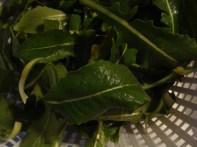 Evening Primrose Leaves
