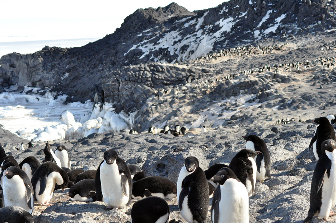 Royds Cape Penguin Rookery