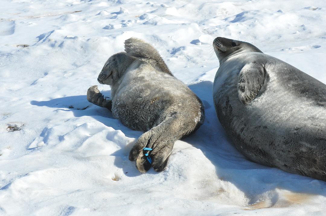 Weddell Seals