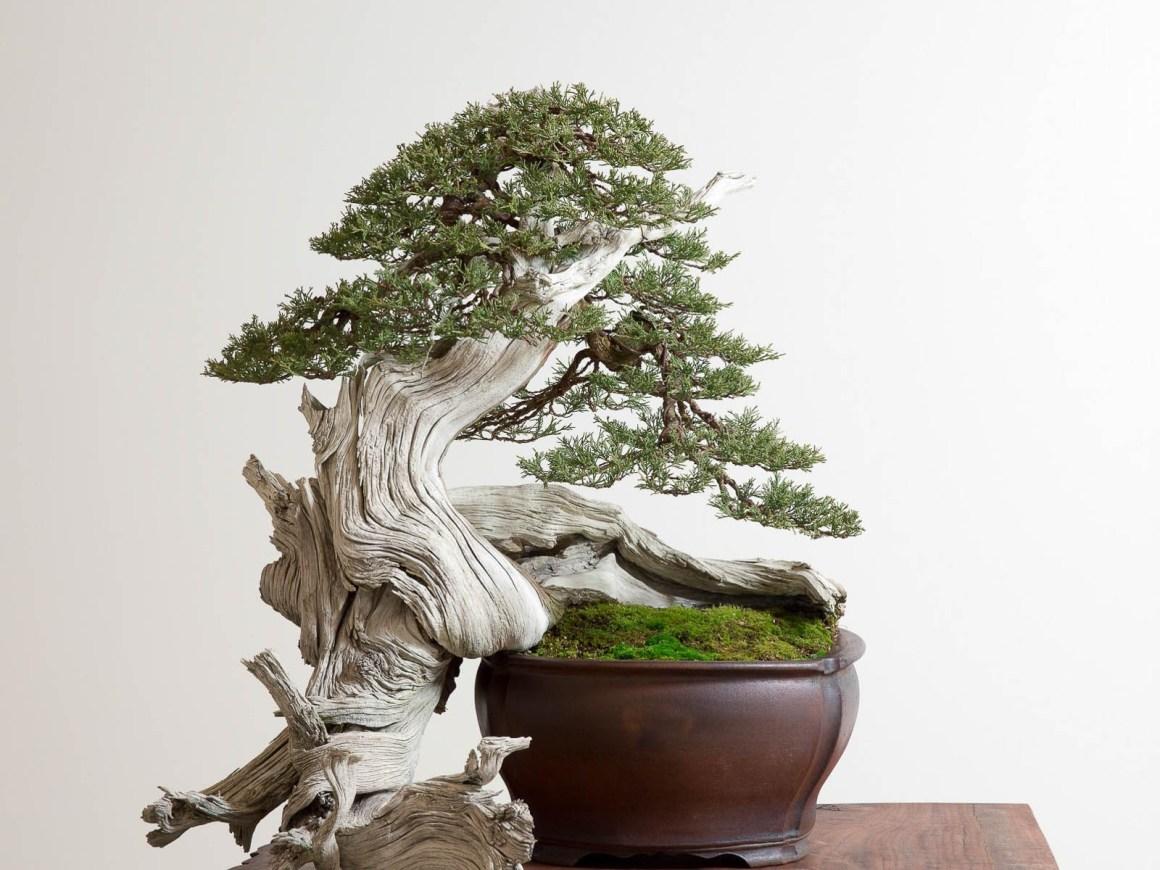 Cara merawat bonsai