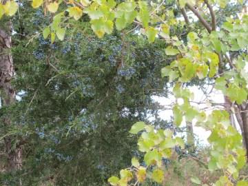 Juniper berries at Roseman Bridge. (Photo: Patricia Teter. All Rights Reserved.)