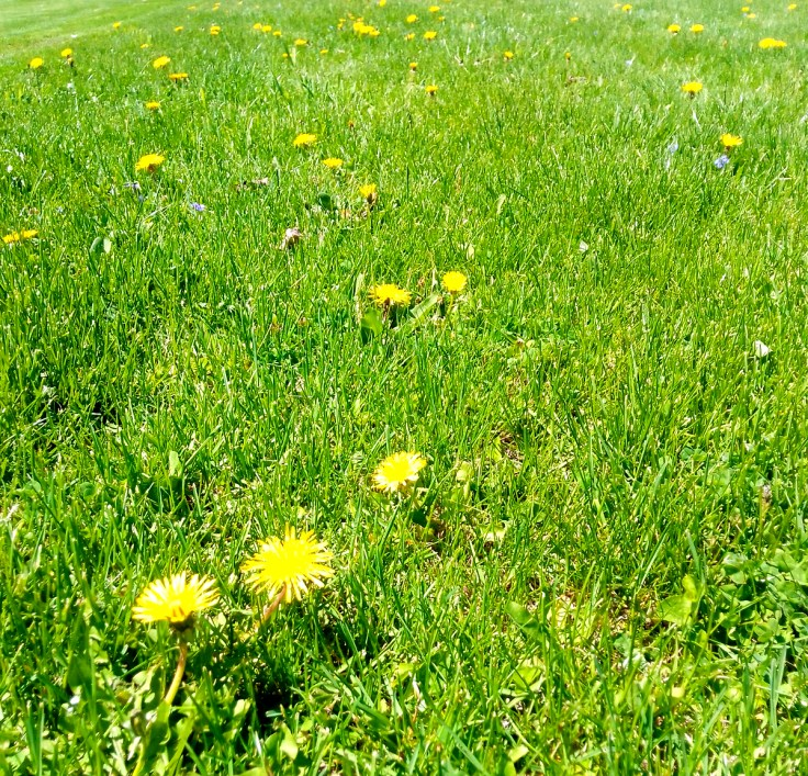 Dandelions in yard