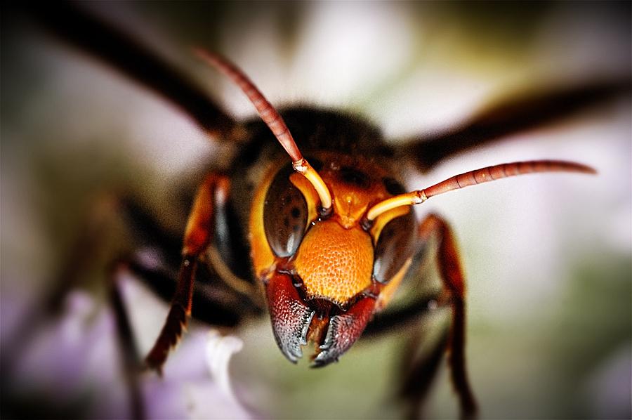 hornet anatomy diagram split charge wiring giant japanese rundown arthropoda vespa mandarinia