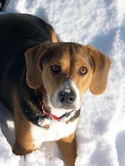 Beagle Foxhound