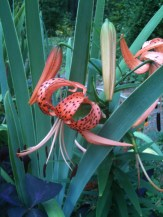Tiger Lilly in the garden.