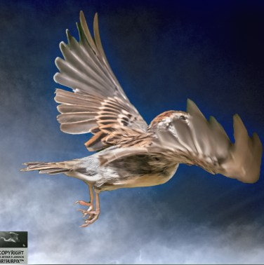 Chipping Sparrow, Flying Wings Spread