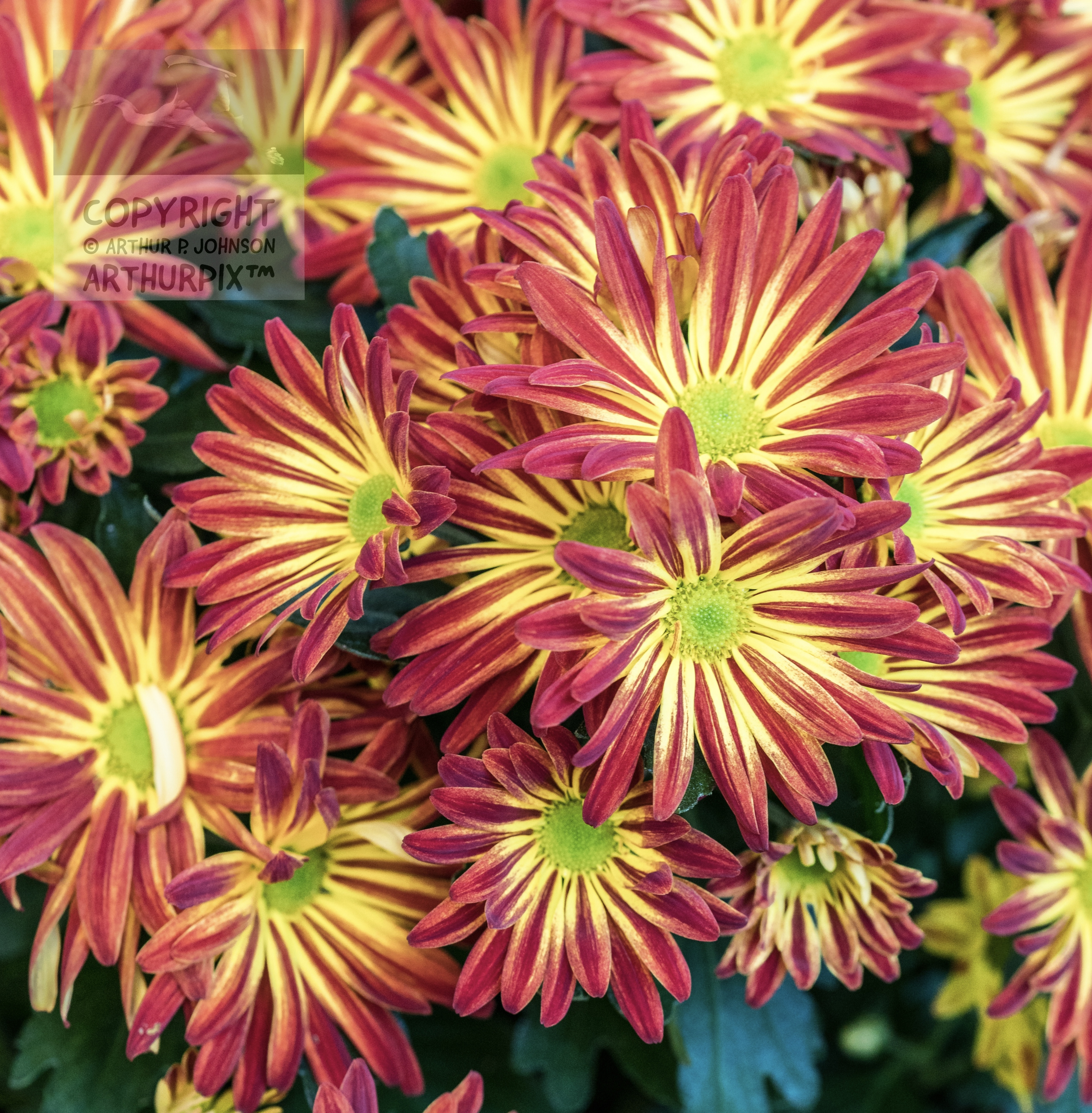Flower Power Mums