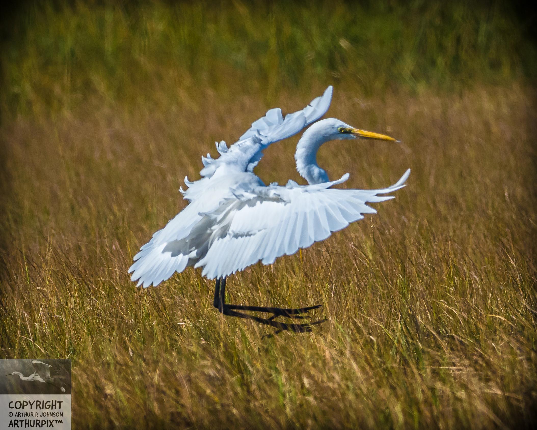 Great Egret brakes her speed tomdescend