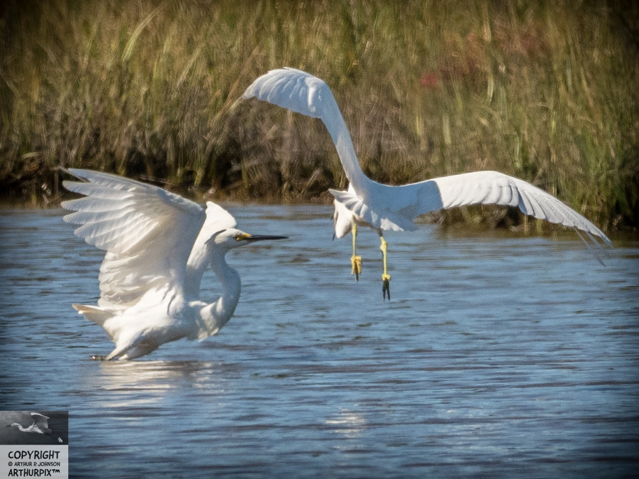 Edith and Edgar, Juvenile Great Egrets in flight
