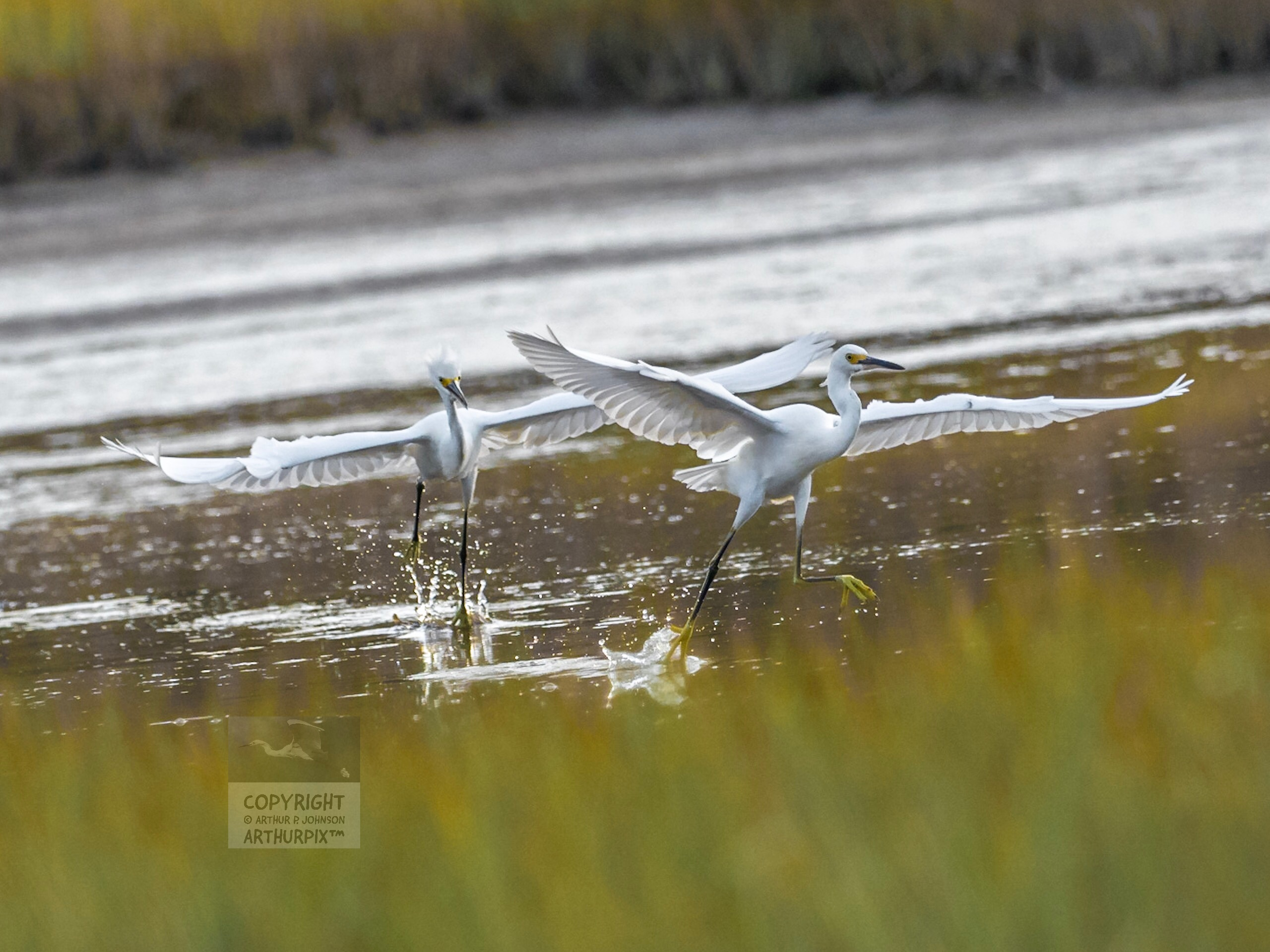 Two Juvenile Great Egrets, Wings Extended, Running