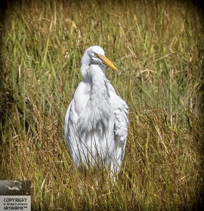 Eglantine Great Egret in Repose