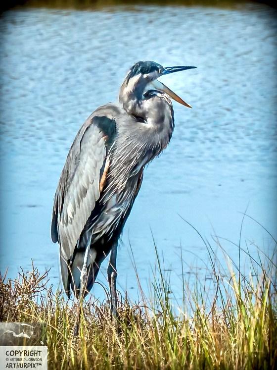 Lyle the Little Blue Heron Speaks