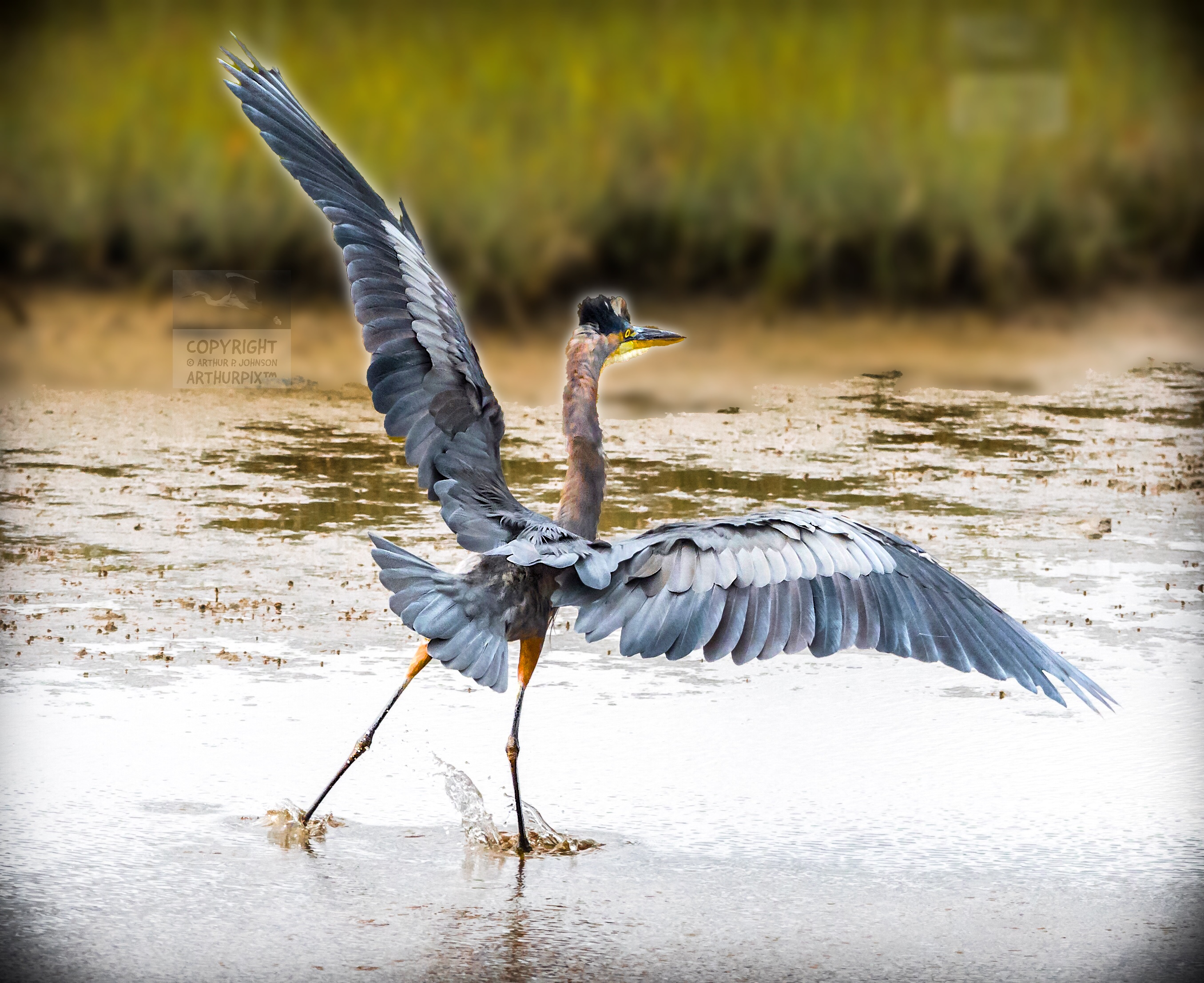 Little Blue Heron, wings extended, seen from the back.