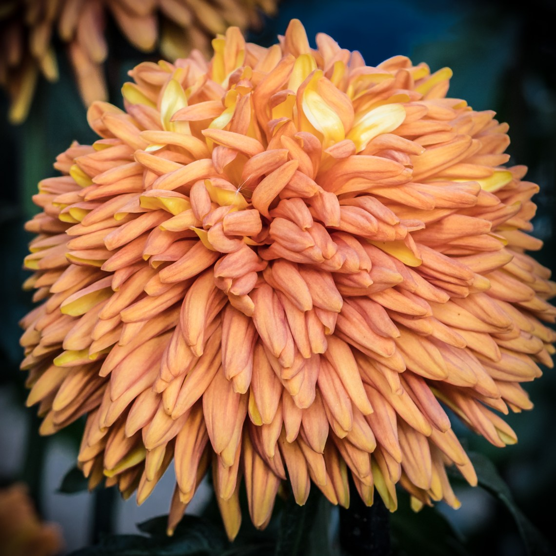 Orange Globe Chrysanthemum
