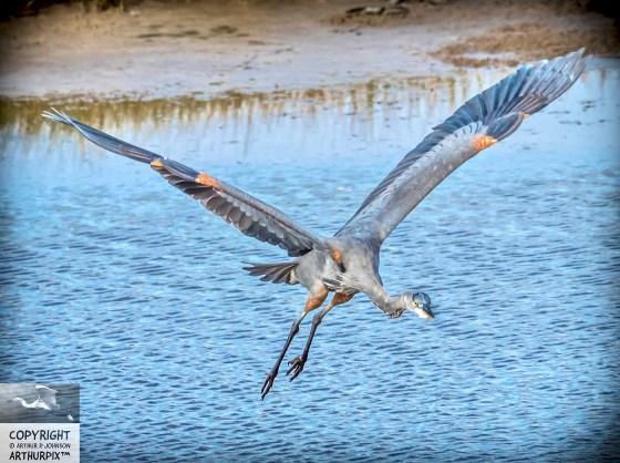 Little Blue Heron in Flight, Approaching You