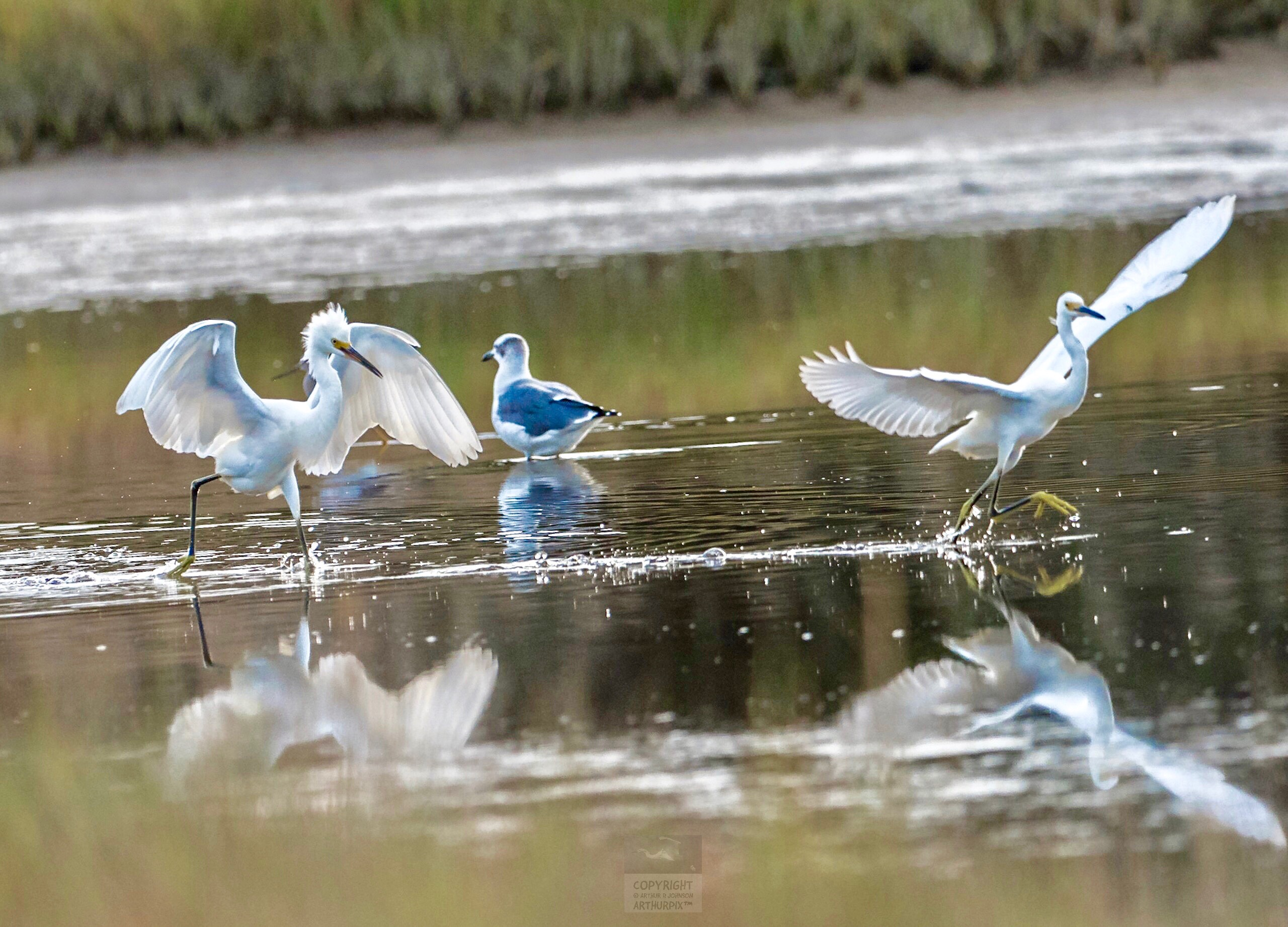 Juvenile Great Egrets, Wings Extended, playing