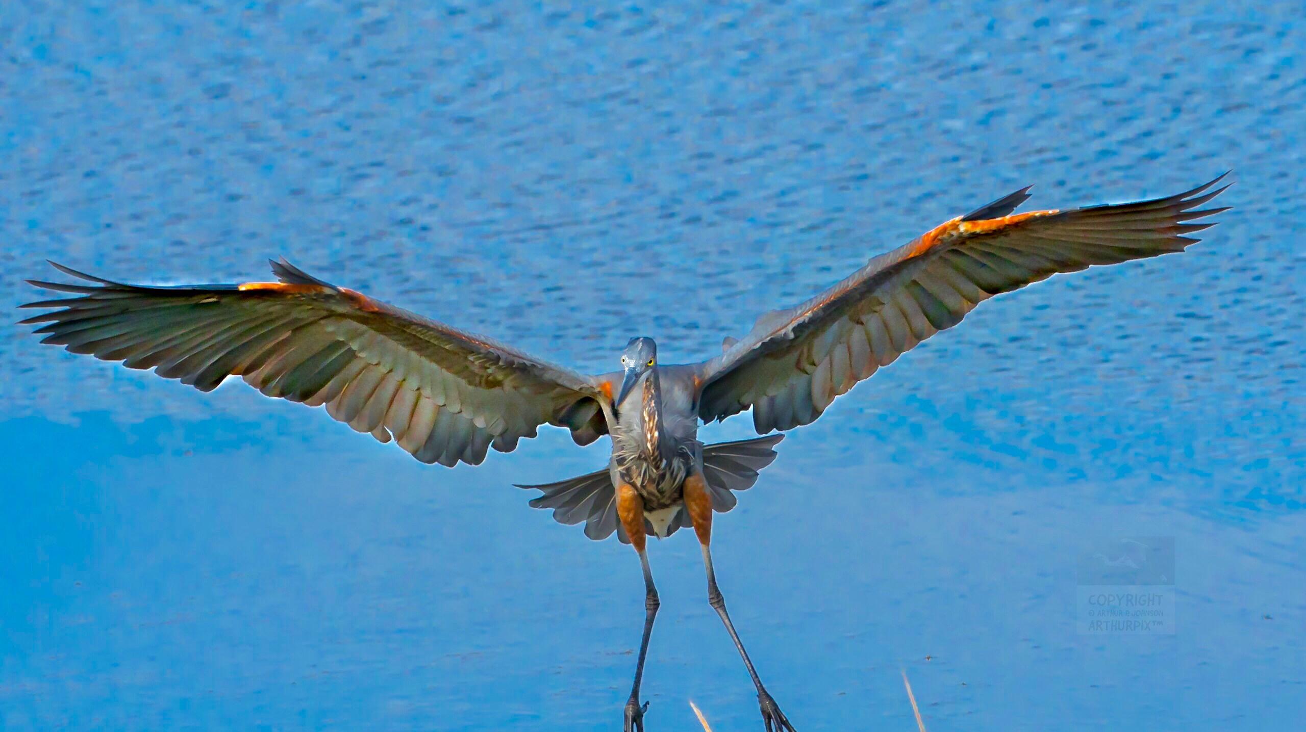 Little Blue Heron Descending from the Sky to Salt Marsh