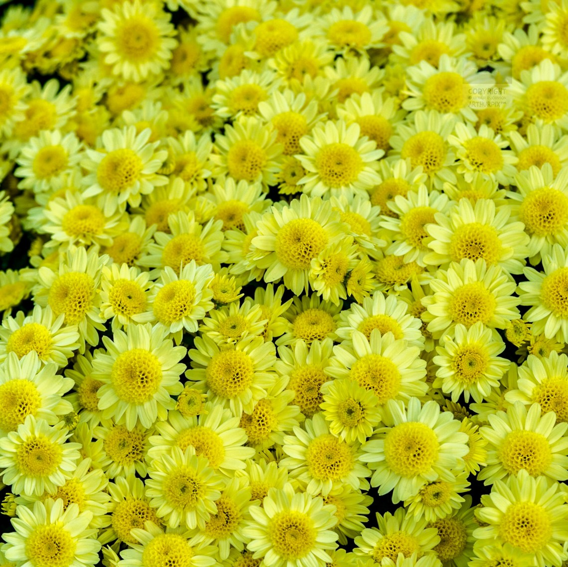 Bed of bright yellow Chrysanthemums
