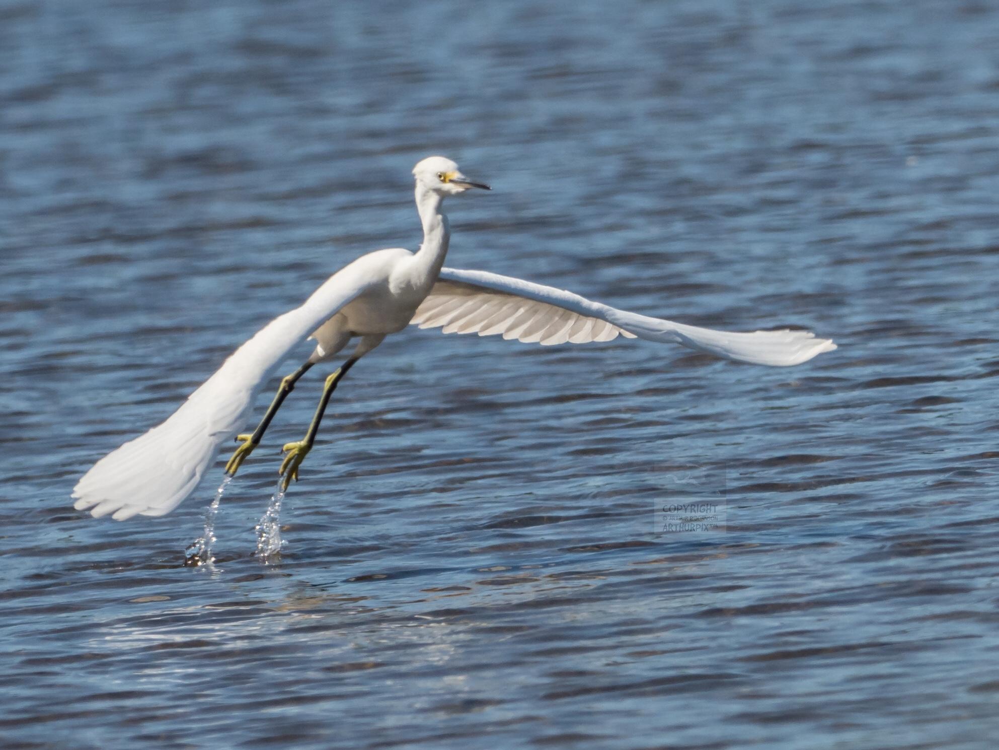 Juvenile Great Egret Taking Flight