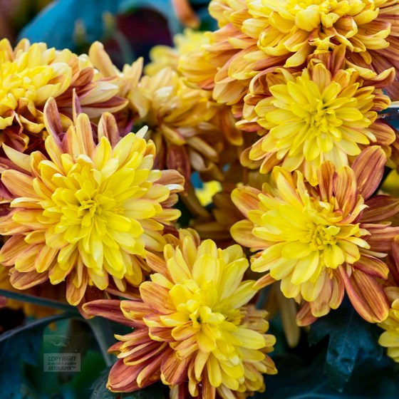 Gold-bronze Chrysanthemums