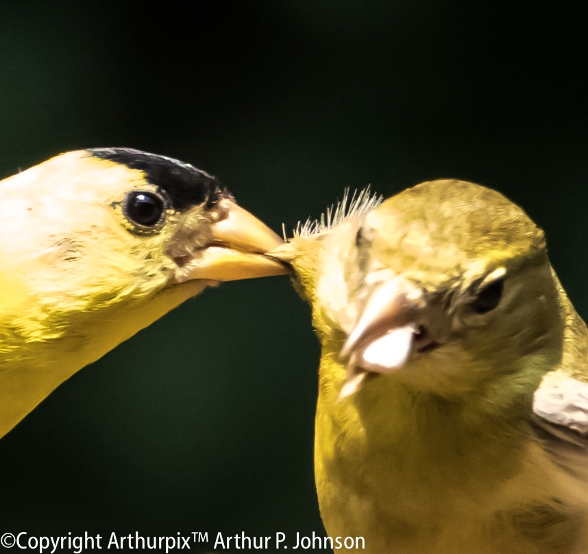 Male Goldfinch in mating plumage biting female.