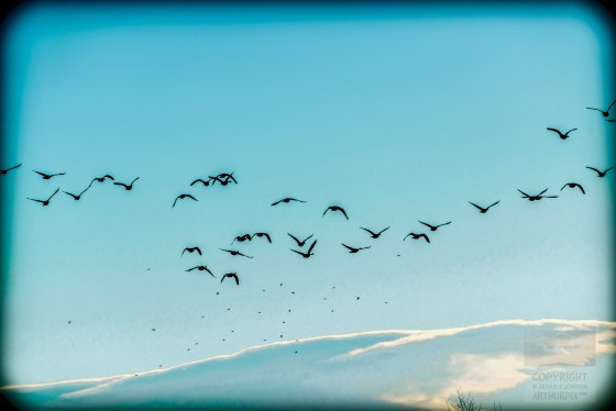 Geese migrating or appearing to do so.