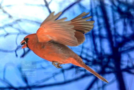 Cardinal in flight, wings extended, seed in beak,