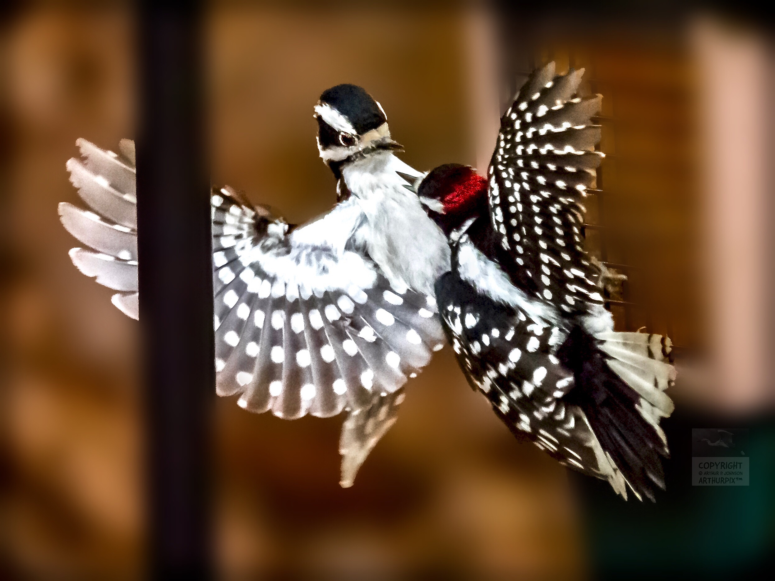 Male Downy Woodpecker Attacking Female