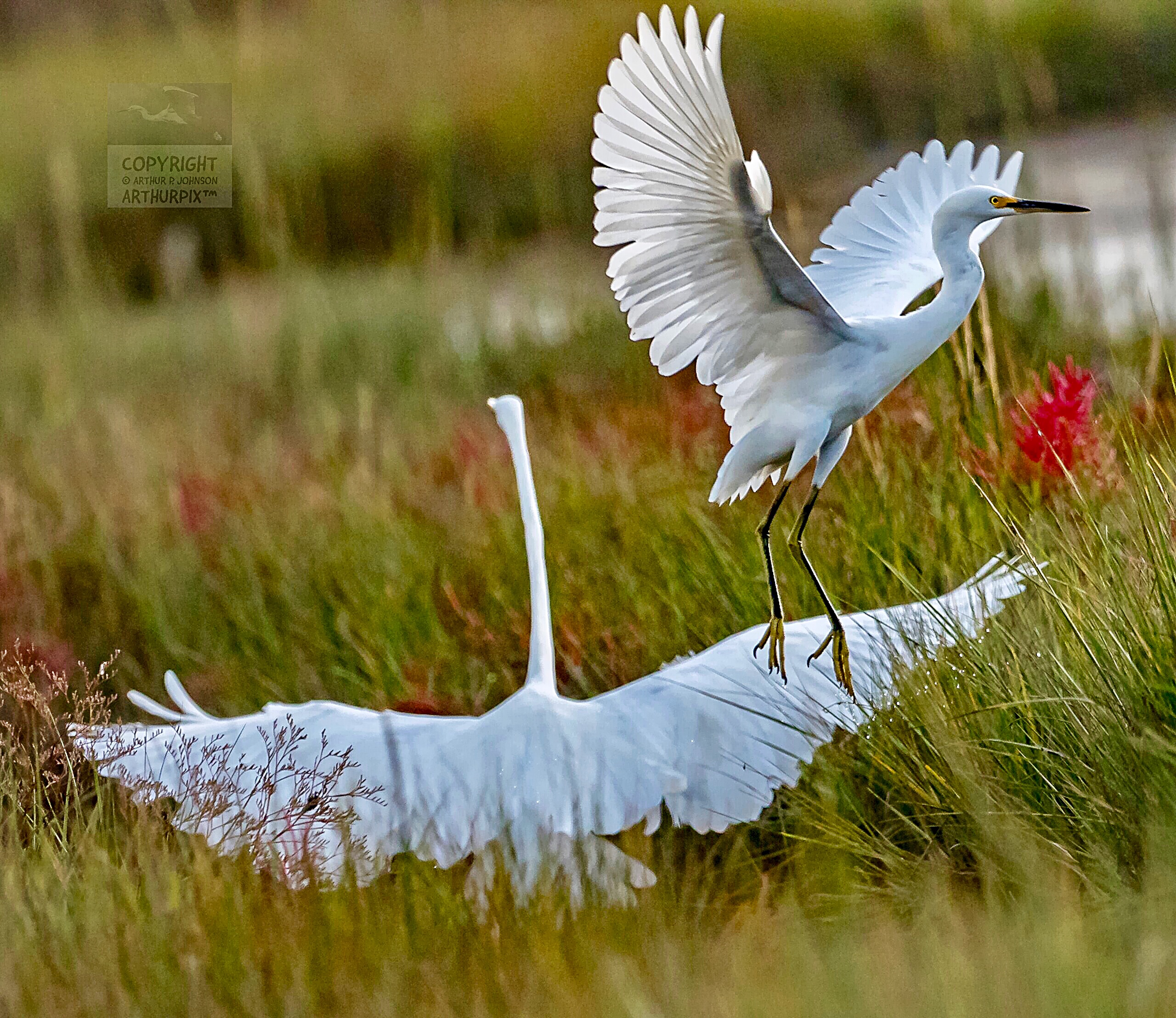 Two Great Egrets, mother and Child, taking flight
