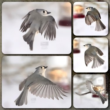 Tufted Titmouse in Flight, 5 images