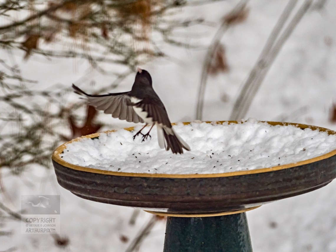 Dark-Eyed Junco Flying Upward from Snow-Filled Bird Bath