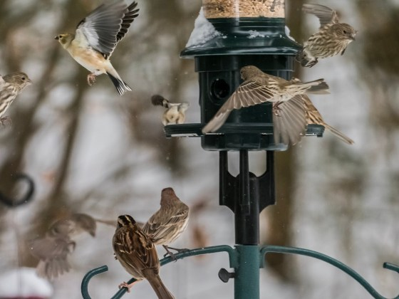 "Songbirds feasting during the East Coast ""Bomb Cyclone"" Cold Snap"
