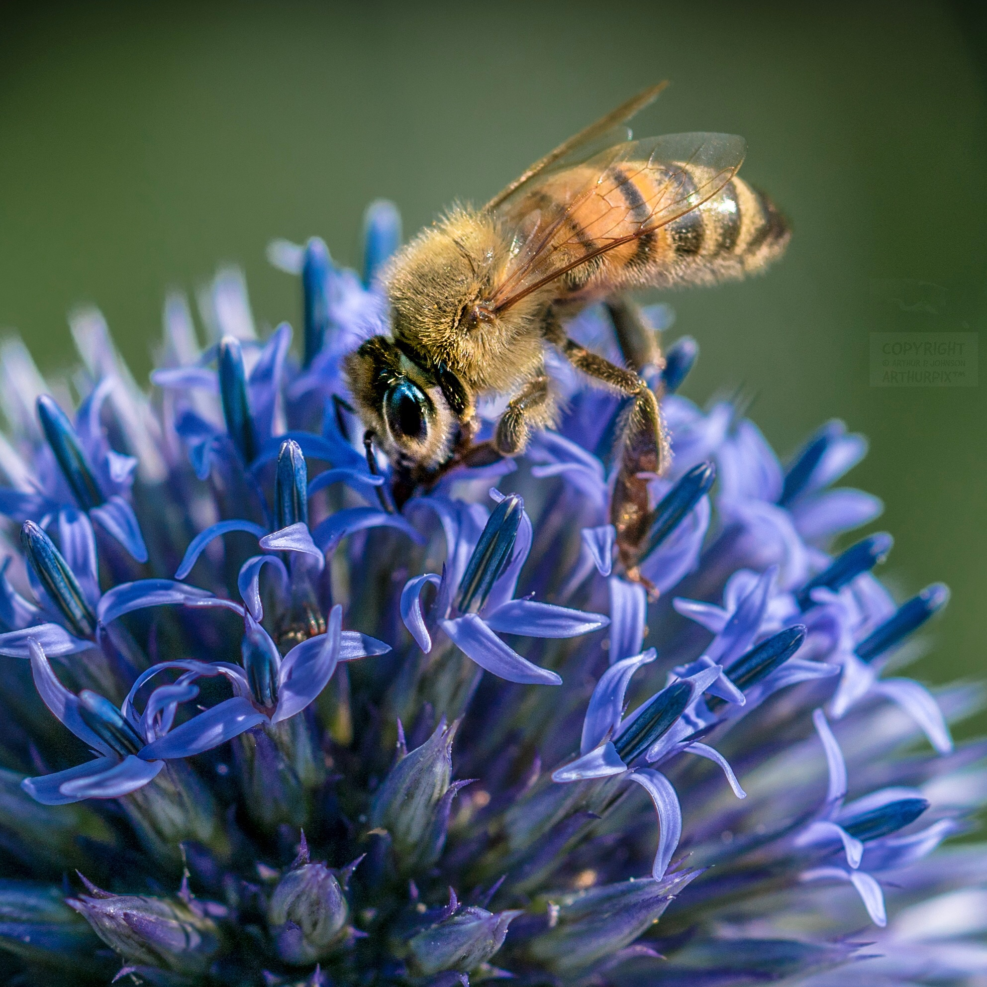 Honeybee on Globe Amaranth