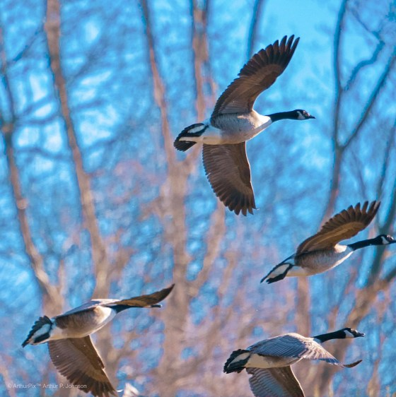 Migrating geese in flight against an impressionistic background