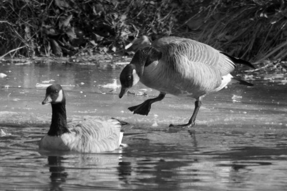 Canada Geese in freezing water, Black and White image