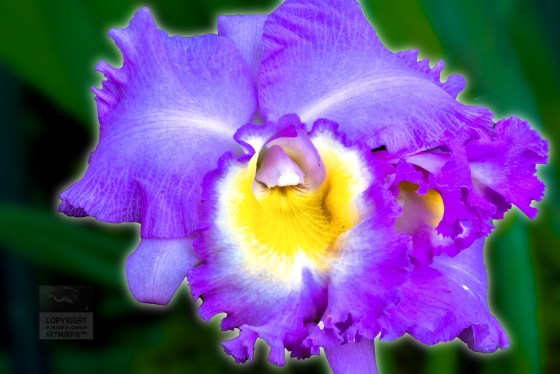Purple and gold Orchid
