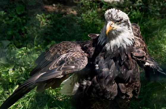 Adolescent bald eagle extending wings, as if to fly