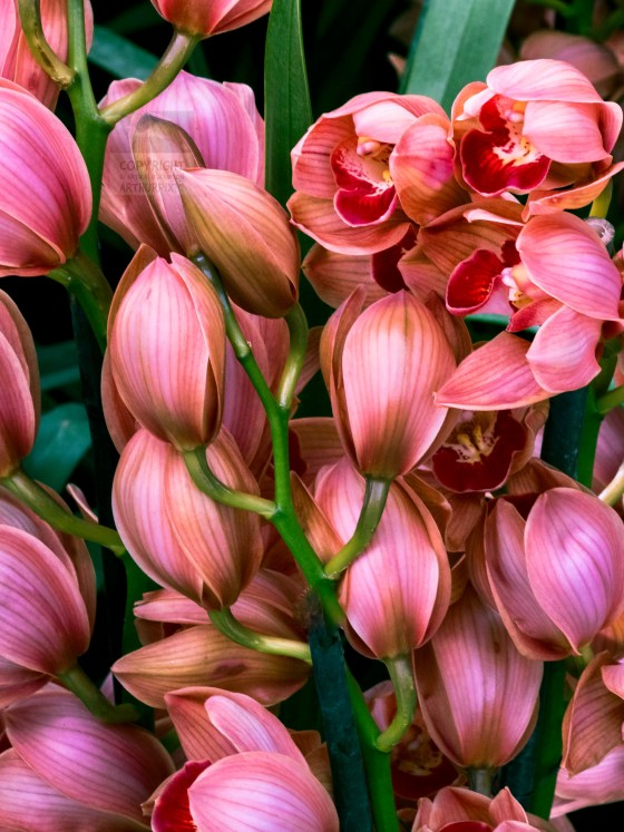 Cluster of pink and red mini-Orchids, mostly in bud