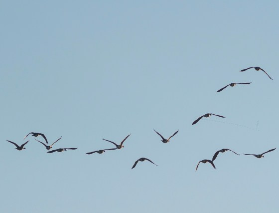 Migrating Canada Geese in Flight