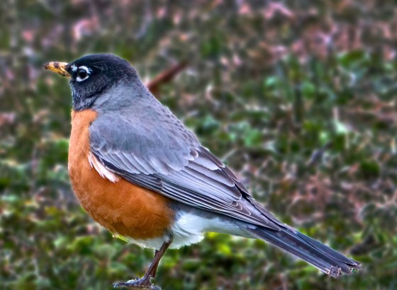 North American Robin patrolling for earthworms.
