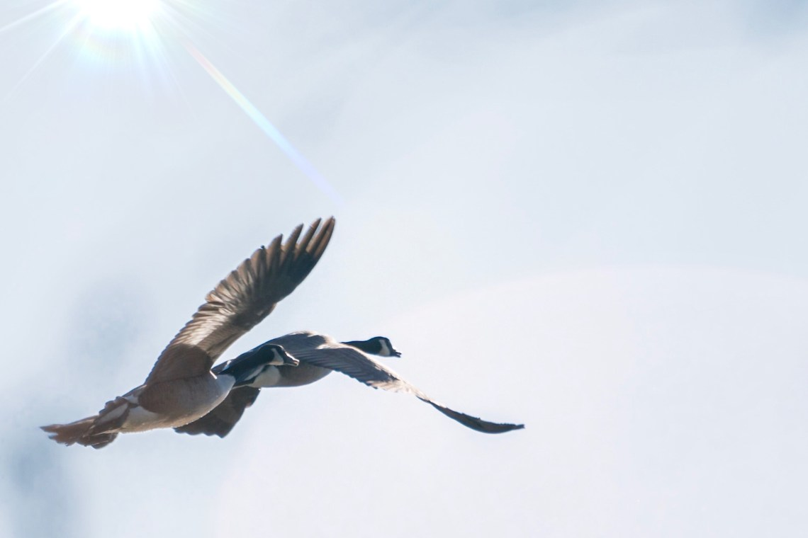 Two Canada Geese in Flight