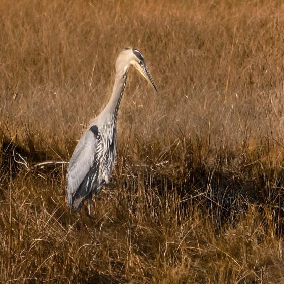 Little Blue Heron, angling for prey in salt marsh