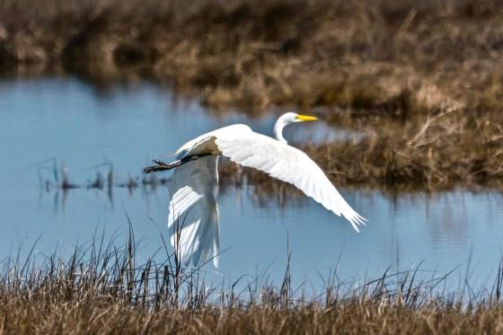 Great Egret in Flight, Spring, 2018