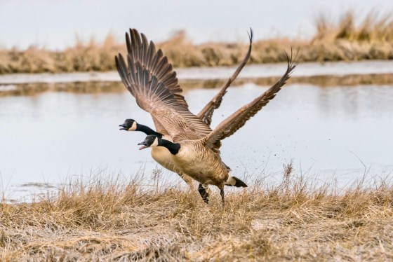 Two Canada Geese taking flight together in the midst of a courtship dance.
